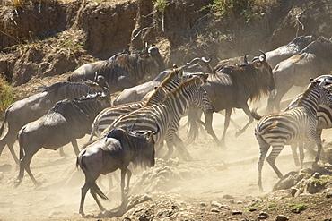 Blue wildebeest (brindled gnu) (Connochaetes taurinus) and Grant's zebra (Plains zebra) (Common zebra) (Equus burchelli boehmi) running up the bank after crossing the Mara River, Masai Mara National Reserve, Kenya, East Africa, Africa