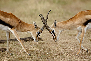 Male Thomson's gazelle (Gazella thomsonii) fighting, Masai Mara National Reserve, Kenya, East Africa, Africa