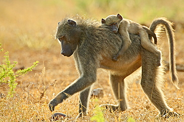 Infant Chacma baboon (Papio ursinus) riding on its mother's back, Imfolozi Game Reserve, South Africa, Africa