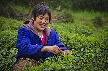 Dragon Well Green Tea Plantation near Hangzhou, Zhejiang province, China, Asia