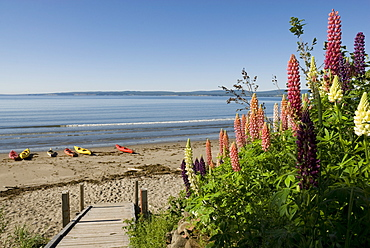 Lupins, Gaspe, Gaspe Peninsula, province of Quebec, Canada, North America