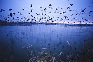 Sandhill crane migration, Platte River, Nebraska, United States of America, North America