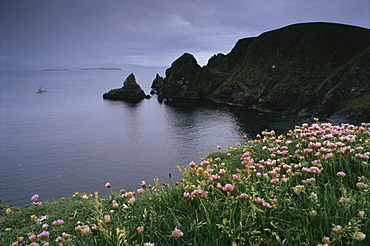 Thrift above the West Mainland coast with boat in distance, Mainland, Shetland Islands, Scotland, United Kingdom, Europe