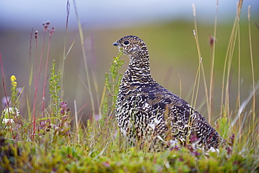 Female ptarmigan (Lagopus mutus) in summer plumage, Iceland, Polar Regions
