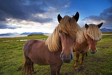Icelandic horses, near Hofn, Hornafjordur mountains and glaciers behind, East Fjords region (Austurland), Iceland, Polar Regions