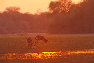 Donkeys at sunset in swamps near Okavango River, Botswana, Africa