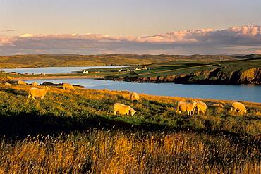 Sheep near Hillswick, Eshaness, Northmavine, Shetland Islands, Scotland, United Kingdom, Europe