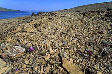 Keen of Hamar National Nature Reserve, an important botanical reserve where the soil contains toxic metals, Unst, Shetland Islands, Scotland, United Kingdom, Europe