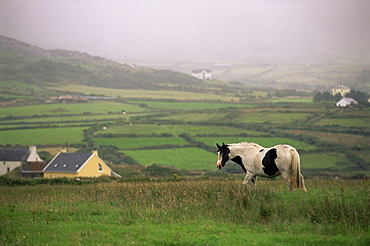 Tinker horse near Allihies, Beara Peninsula, County Cork, Munster, Republic of Ireland (Eire), Europe