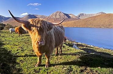 Highland cattle, Loch Hainort and Red Cuillins (Red Hills), Isle of Skye, Inner Hebrides, Scotland, United Kingdom, Europe