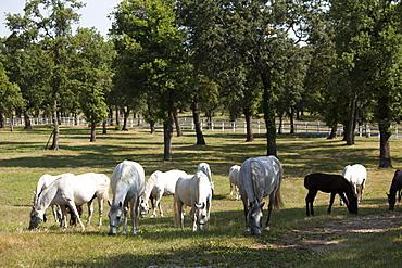 Lipizaner horses in the world famous Lipizaner horses farm, Lipica, Slovenia, Europe