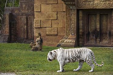 White Bengal Tiger at Miami Metro Zoo, Miami, Florida, United States of America, North America