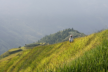 Woman of Yao tribe in ricefields, Longsheng terraced ricefields, Guilin, Guangxi Province, China, Asia