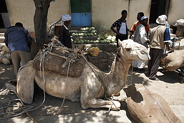 Camel relaxes after carrying watermelons to the town of Ghinda, Eritrea, Africa
