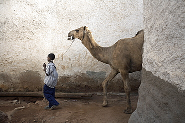 A boy walks his camel through one of the 368 alleyways contained within the city of Harar, Ethiopia, Africa