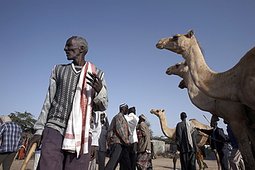 Camel traders at the early morning livestock market in Hargeisa, Somaliland, Somalia, Africa