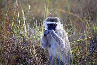 Vervet monkey, Zimbabwe, Africa