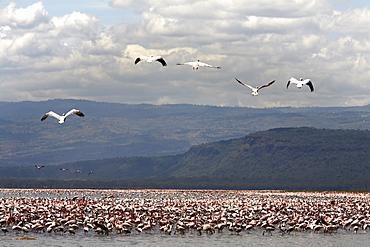 Flamingos at Lake Nakuru National Park, Kenya, East Africa, Africa
