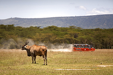 Tourists speed past an eland antelope at Lake Nakuru National Park, Kenya, East Africa, Africa