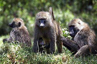 Baboons at Lake Nakuru National Park, Kenya, East Africa, Africa