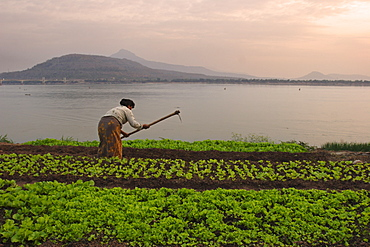 Tending the crops on the banks of the Mekong river, Pakse, southern Laos, Indochina, Southeast Asia, Asia