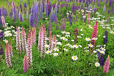Field of wild lupines, Tacoma, Washington State, United States of America, North America