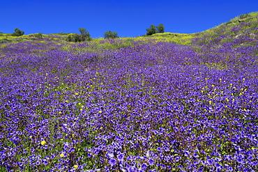 Wild Canterbury Bells, Walker Canyon, Lake Elsinore, Riverside County, California, United States of America, North America