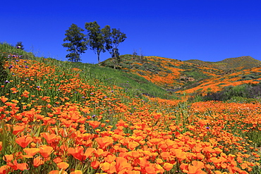 Poppies, Walker Canyon, Lake Elsinore, California, United States of America, North America