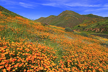 Poppies, Walker Canyon, Lake Elsinore, Riverside County, California, United States of America, North America