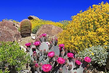 Beavertail cactus and brittlebush, Anza-Borrego Desert State Park, Borrego Springs, San Diego County, California, United States of America, North America