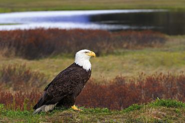 Bald Eagle, Valdez, Prince William Sound, Alaska, United States of America, North America