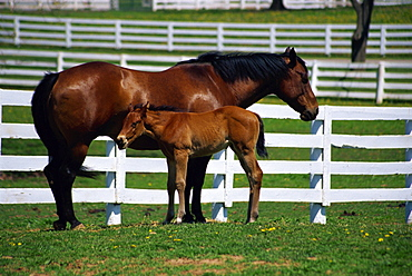 Mare and foal, The Kentucky Horse Park, Lexington, Kentucky, United States of America, North America