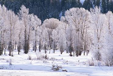 Trees, Teton National Park, Wyoming, United States of America, North America