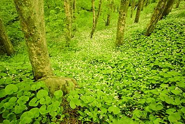 Woodland area near Doolin, County Clare, Munster, Republic of Ireland, Europe