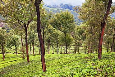 Tea plantations in Munnar, Kerala, India, Asia
