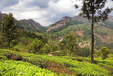 Tea plantations in the mountains of Munnar, Kerala, India, Asia