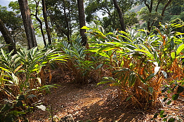 Cardamom plantation in the mountains of Munnar, Kerala, India, Asia