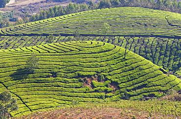 Tea plantation in the mountains of Munnar, Kerala, India, Asia