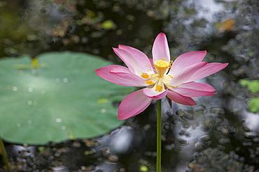 Lotus flower (water lily), Kerala, India, Asia