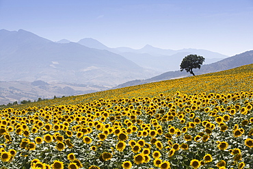 Sunflowers, near Ronda, Andalucia (Andalusia), Spain, Europe