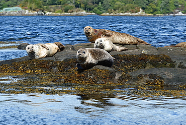 Seals basking on rocks near Garinish Island, Shrone, Beara Peninsular, Wild Atlantic Way, County Cork, Munster, Republic of Ireland, Europe