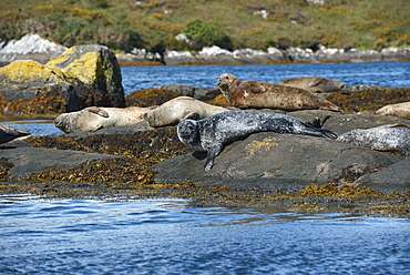 Seals basking on rocks near Garinish Island, Shrone, County Cork, Munster, Republic of Ireland, Europe