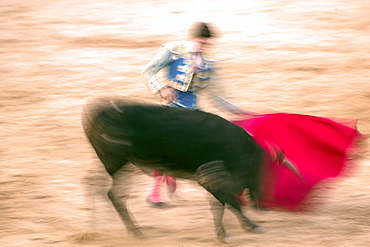 Young bulls (novillos) in the main square of the village used as the Plaza de Toros, Chinchon, Comunidad de Madrid, Spain, Europe