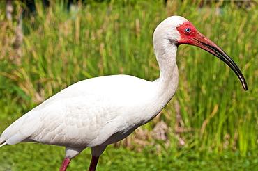 White ibis (Eudocimus albus), Everglades, Florida, United States of America, North America