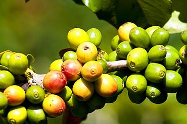 Coffee growing, Santiago Atitlan, Guatemala, Central America
