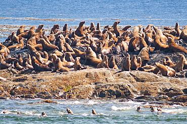 Steller sea lion (northern sea lion) (Eumetopias jubatus) colony outside Prince Rupert, British Columbia, Canada, North America