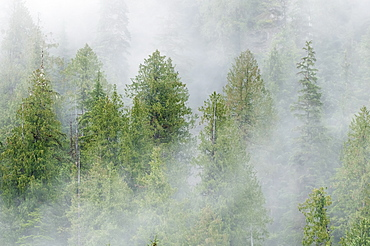 Mist covered pine trees in Great Bear Rainforest, British Columbia, Canada, North America