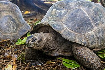 Aldabra giant Seychelles tortoise (Aldabrachelys gigantea), Anse Takamaka, Mahe, Republic of Seychelles, Indian Ocean, Africa