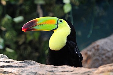 Mexico, Veracruz, Toucan native to Veracruz with bright multi coloured bill.