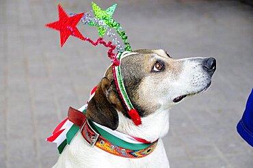 Mexico, Bajio, San Miguel de Allende, El Jardin Dog dressed for Independence Day celebrations.